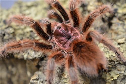 Grammostola rosea (Red Rose Hair) Care Sheet – Jamie's Tarantula Blog